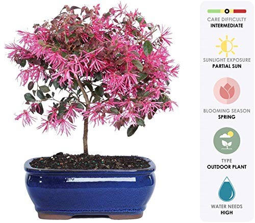 Brussel's Live Fringe Flower Outdoor Bonsai Tree - 3 Years Old; 8' to 12' Tall with Decorative Container