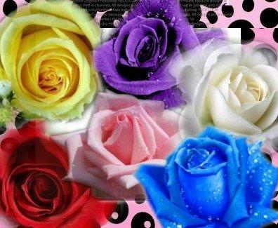 Heirloom 60 graines 6 Couleurs Rouge Violet Rose Bleu Blanc Jaune Vivaces Rose Double Fleurs Graines B3006