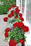 1: 2016 Nuovi arrivi Balcone Gerani in vaso Fiori perenni Semi da giardino Pelargonium Piante da vaso Fai da te 50 pezzi/borsa