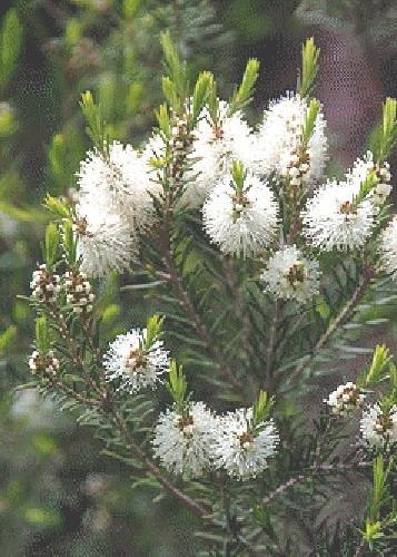TROPICA - Australischer Teebaum (Melaleuca alternifolia) - 400 Samen