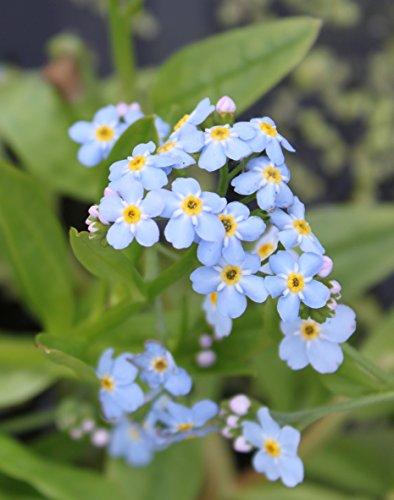2er-Set - winterhart! - Myosotis palustris - Sumpfvergißmeinnicht, hellblau - Wasserpflanzen Wolff