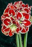 Bulbos Amarilis,Hermosas Flores,Crece En Tu JardíN,Mundialmente Famoso,Se Puede Regalar A Amigos-2 Bulbos,2