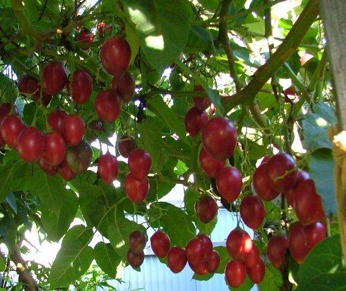 10 Samen Tamarillo, Baumtomate, Solanum betaceum, Herkunft Anden 2000m