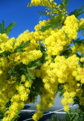 TROPICA - Frühe Schwarzholz-Akazie (Acacia decurrens) - 50 Samen