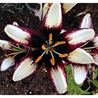Black Eye Asiatic Lily - 2 Bulbs 14/16cm - Spotted White with Black Eye
