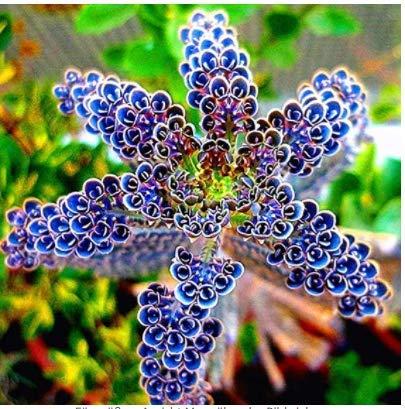 Gartensamen SummerRio- Selten Kalanchoe Delagoensis Sukkulenten Blumensamen Saatgut winterhart mehrjährig künstlich Gemischt Pflanzen Leicht zu überleben für Home Decor