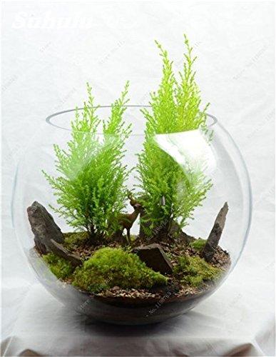 Vert mousse Graines 120 Pcs exotiques rares Graines Bonsai Moss Belle Moss Boule décorative Jardin créatif herbe Graines Plante en pot 21