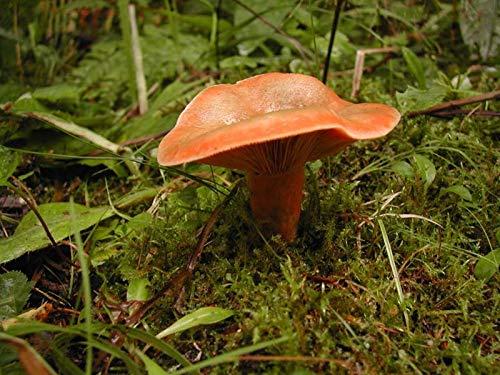 FERRY Bio-Saatgut Nicht nur Pflanzen: g Myce Seed Spores wachsen Lactarius deliciosus Orange Pilz