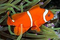【海水魚/観賞魚/スズメダイ】 スパインチークアネモネフィッシュ ※国産ブリード ■サイズ:3cm± (5匹)