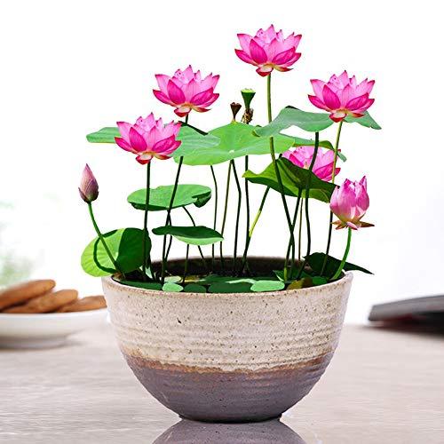 Lila Lotus Blumensamen zum Pflanzen UK Bio Seerosen Lotusschale Wasserpflanzen Blume Einfach zu züchten Samen für Bonsai Pflanzteich Indoor Outdoor Dekor