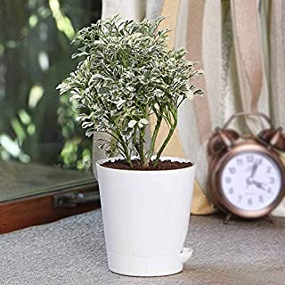 Ugaoo Aralia Variegated White Indoor Plant with Self Watering Pot