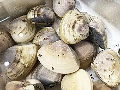 千葉県産 はまぐり(蛤) 約1kg (大サイズ)