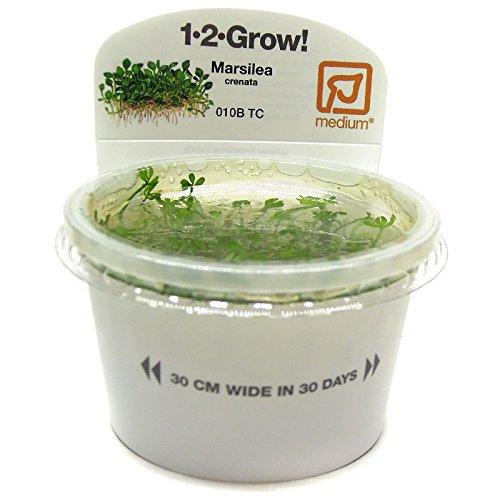 Tropica Marsilea crenata 1-2-cultivar tejido de cultivo in vitro para acuario, plantas de camarones y sin caracol