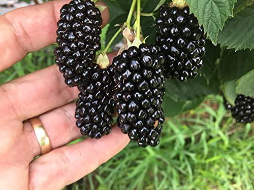 BlackBerry Plants 'Big Daddy' Price Includes Four (4) Plants