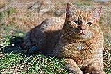 LHJOY Puzzle 3D Puzzle 1000 Piezas Animal Gato atigrado Regalo de cumpleaños 75x50cm