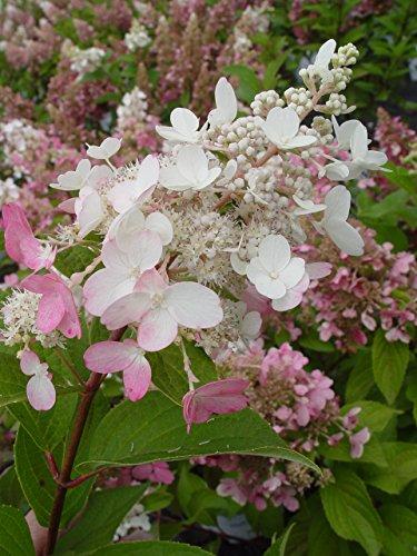 验证获奖者 - 绣球花锅。Pinky Winky(Panicle绣球花)灌木,白色到粉红色的花朵,#2  - 尺寸容器