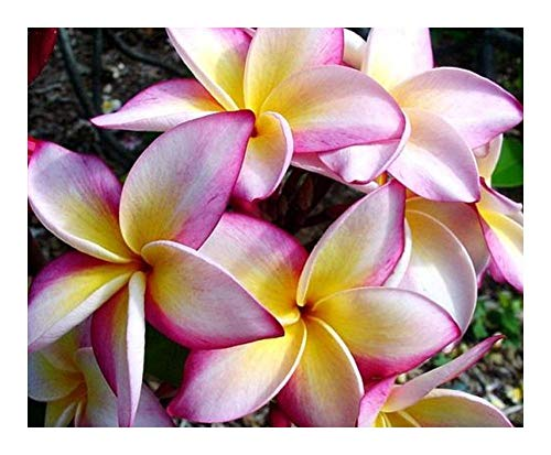 Plumeria Cattaleya - Frangipani - Wachsblume Cattaleya - 3 Samen