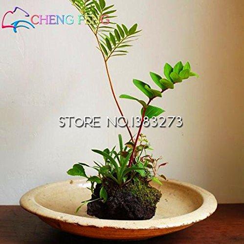 50pcs Balcon sensitive Graines en pot Plantes à feuillage Fun Bashful Semence Sensitive Splendid Fleur Belle plante populaire