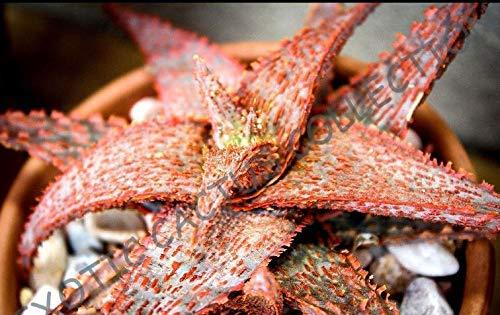 Rare Aloe hybride frais cv marmelade d'orange (exotiques Agave Succulent Graines Bonsai) 10 graines