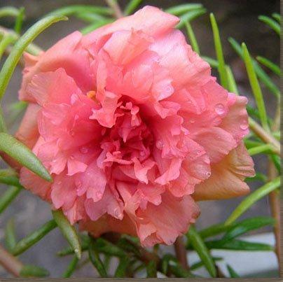 vegherb 3: 300Pcs Mixed Portulaca Seed Blumen Balkon Garten Topfbonsaipflanzen Portulak Scutellaria barbata Semillas leicht anzubauen 3