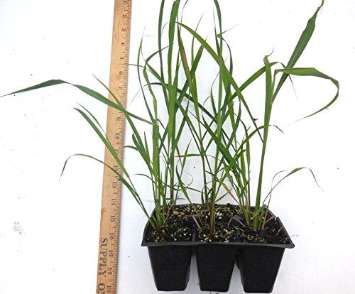 PLAT FIRM Plato de germinación de Primera Planta: Lemongrass- 1 Maceta Planta Totalmente arraigada - Hierbas y Cymbopogon Ornamental Flexuosus