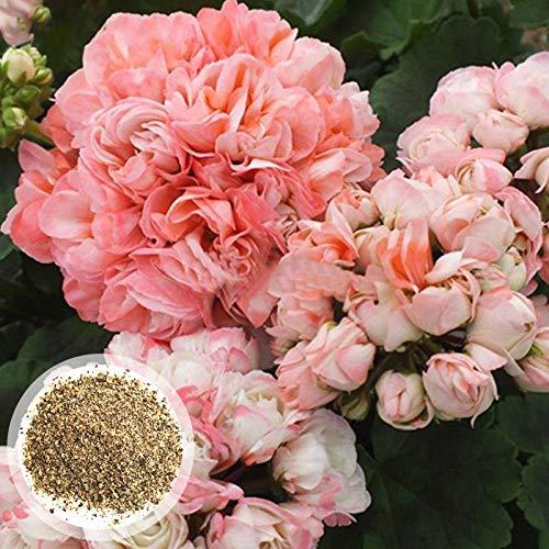 Benoon Semi Di Geranio, 600 Pezzi/Borsa Semi Di Geranio Perenne Fantastico Giardino Bonsai Rosa Semi Di Pelargonium Per La Casa