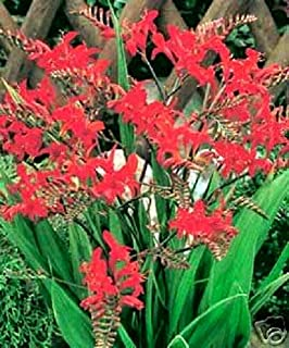 RED Lucifer CROCOSMIA Flower jocad (10 Seeds)