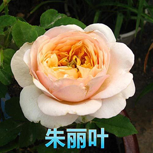 Aerlan Plantes de Jardin Décoration,semences vivaces,Rose Seeds Four Seasons Flower Balcony Indoor Potted Plant-60pcs_T