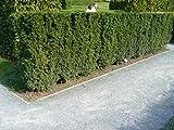 10 Eiben 30-50cm frisch vom Feld Gartenhecke Heckenpflanzen Immergrüne Pflanze Taxus baccata Eibe Wurzelware