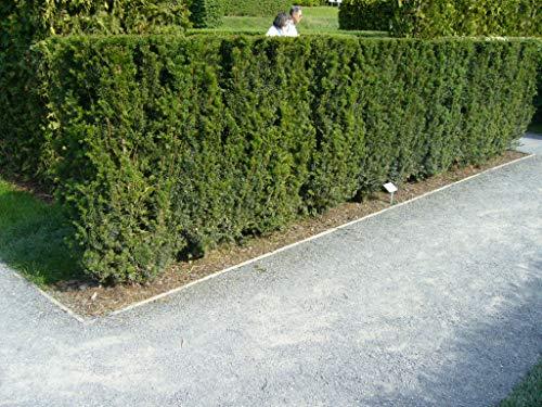 10 Eiben 30-50cm frisch vom Feld Gartenhecke Heckenpflanzen Immergrüne Pflanze Taxus baccata Eiben Wurzelware