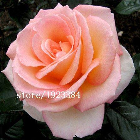 2016 véritables graines de rose 100 PCS VENTE CHAUDE !!! graines de fleurs bonsaï plantes de jardin