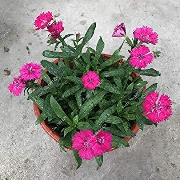 VISTARIC 8: Double Dahlia Seed Mini Mary Fleurs Graines Bonsai Plante en pot bricolage jardin odorant fleur, croissance naturelle de haute qualité 50 Pcs 8