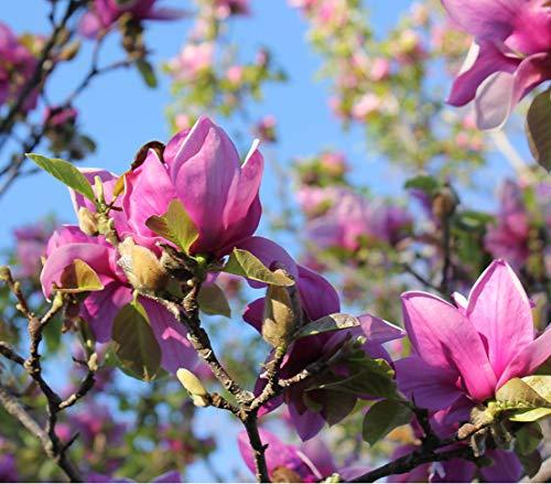 Dehner Tulpen-Magnolie Genie®, purpurfarbene Blüten, ca. 40-50 cm, 5 l Topf, Ziergehölz