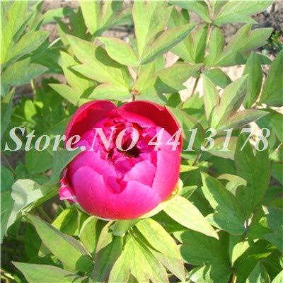 SVI 10 piezas frescas semillas de flores de peonía doble para plantar Red 1