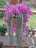 10 Semillas de la cola de rata Cactus raros Aporocactus flagelliformis impresionantes flores rosadas
