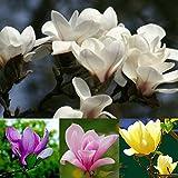 Catkoo Semi,20Pz Piattino Magnolia Fragrante Fiore Albero Semi Colore Misto Pianta da Giardino,Adatto a Balcone,Soggiorno,del Giardino,Decorazione Natalizia
