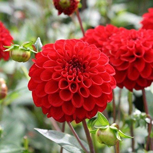 Creative Farmer Dahlia Pompon Scarlet Flower Seeds (Pack of 20 Seeds)