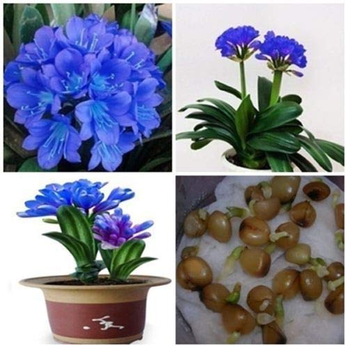 GETSO 100 Semi di Fiori Reale Blue Sky Clivia Kaffir Lily Clivia miniata Semi