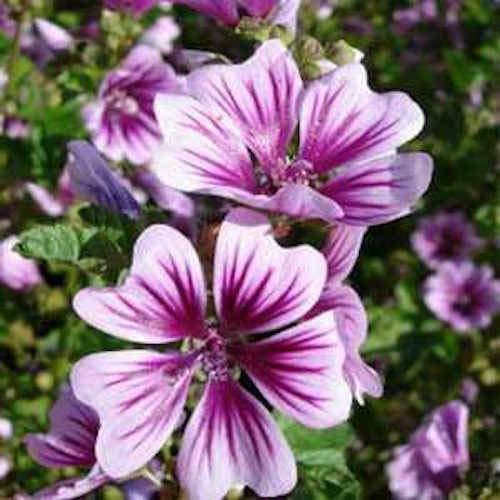 GETSO Samen-Paket Nicht Pflanzen: Seeds Zebra Malve Blumensamen/Deer & Kaninchen resistent /