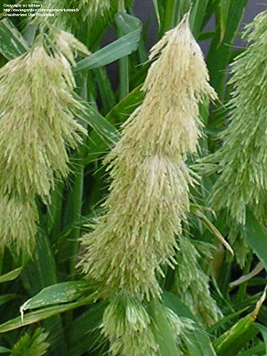Les graines fraîches 2000 - Lamarckia Aurea Graines graminée