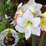 Kisshes Seedhouse - 10pcs Graines de Amaryllis naine 'Valencia' grainé fleur jardin plante d'intérieur Plantes Vivace