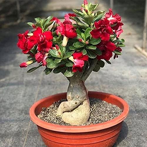 Bulbos De Rosa Del Desierto, Plantas Exóticas, Sorprendentes Y Raras / Especial / Fuerte / Duradero / Agradable /-4-rizoma,A