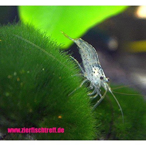 15 x Amano Garnele - Caridina multidentata bzw. japonica der wahrscheinlich beste Algenvernichter für jedes Aquarium + 1 Gratis - Futterprobe der Bayerischen Aquaristikmanufaktur
