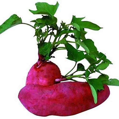 Free Venus Semillas de hortalizas orgánicas Semillas de bonsái Semillas de batata...