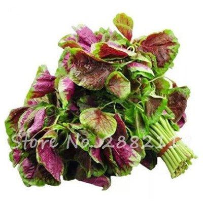 Herb Amaranthus Tricolor Seeds 50 Pcs graminée Semente non Ogm végétale comestible Bonsai Plante en pot sain sucré 2