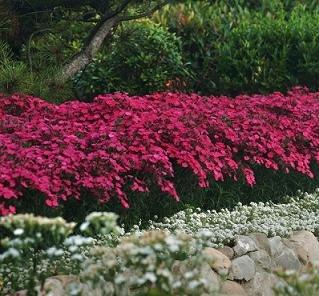 Heidenelke 100 Samen (Dianthus deltoides) Teppichbildende Staude mit rot Blüten,