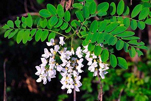 Robinie - 40 Samen - Robinia pseudoacacia - Baum - Bonsai SOW GANZE JAHR Biene