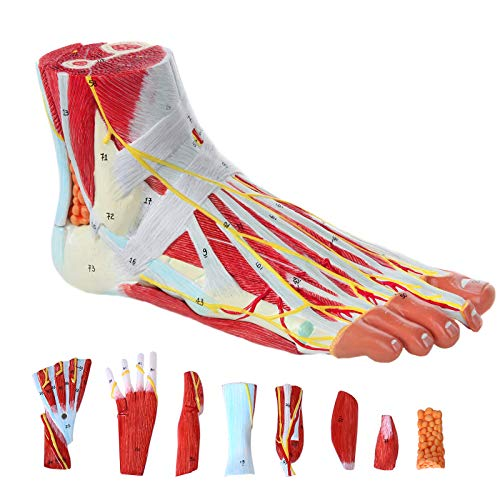 Training Human Foot Model,Scientific Anatomy Model of Foot with 9 Movable Organs for Training Demonstration and Teaching Explanation