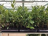 Kirschlorbeer Heckenpflanzen immergrün Sichtschutz Prunus lauroc.'Novita' im Topf gewachsen 20-40cm (20 Stück)