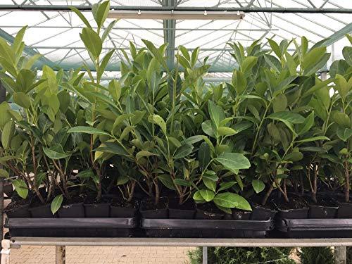 Kirschlorbeer Heckenpflanzen immergrün Sichtschutz Prunus lauroc.'Novita' im Topf gewachsen 20-40cm (50 Stück)
